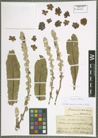 Isotype of Verbascum macrosepalum Boiss. & Kotschy ex Murb. [family SCROPHULARIACEAE]