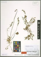 Isotype of Astragalus chrysanthus Boiss. & Hohen. [family FABACEAE]