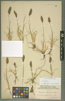 Isotype of Deyeuxia jamesonii Munro ex Wedd. [family POACEAE]