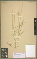 Isolectotype of Melinis repens (Willd.) Zizka subspecies grandiflora (Hochst.) Zizka [family POACEAE]