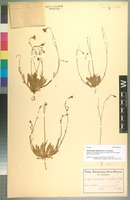 Isotype of Wahlenbergia oligotricha Schltr. & Brehmer [family CAMPANULACEAE]