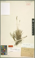 Syntype of Poa psychrophila Boiss. & Heldr. [family POACEAE]
