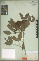 Isotype of Calyptranthes melanoclada O. Berg [family MYRTACEAE]