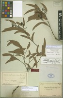Isotype of Eucalyptus gracilis Sieber ex Benth. [family MYRTACEAE]