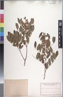 Isotype of Copaifera baumiana Harms [family CAESALPINIACEAE]