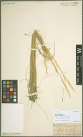 Isotype of Stipa spartea Trin. subspecies curtiseta Hitchc. [family POACEAE]