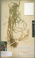 Holotype of Calamagrostis montevidensis Nees variety linearis Hack. [family POACEAE]