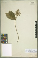 Type of Calyptranthes affinis O. Berg [family MYRTACEAE]