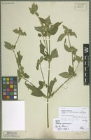 Syntype of Dicliptera pohliana Nees [family ACANTHACEAE]