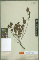 Isotype of Eugenia cristaensis O. Berg [family MYRTACEAE]
