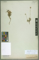 Isotype of Silene olympica Boiss. [family CARYOPHYLLACEAE]