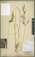 Isotype of Loudetia elegans A. Braun [family POACEAE]
