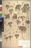 Holotype of Oxalis pentheri Zahlbr. [family OXALIDACEAE]