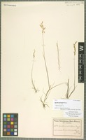 Type of Agrostis aristulifera Rendle [family POACEAE]