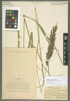 Type of Calamagrostis neumaniana Torges [family POACEAE]