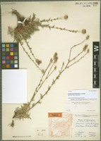 Isotype of Cousinia parviceps Rech. f. & Köie [family ASTERACEAE]