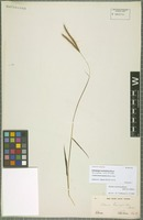 Original material of Andropogon aureofulvus Steud. [family POACEAE]