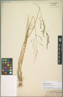 Isotype of Puccinellia thomsonii (Stapf) R. R. Stewart [family POACEAE]