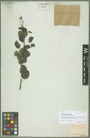 Isotype of Chamaecrista cytisoides (DC. ex Collad.) H. S. Irwin & Barneby variety blanchetii (Benth.) H. S. Irwin & Barneby [family CAESALPINIACEAE]