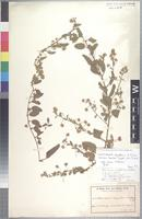 Isotype of Hermannia angolensis K. Schum. [family STERCULIACEAE]