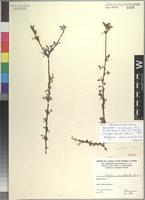 Isotype of Indigofera commiphoroides Chiov. [family FABACEAE]