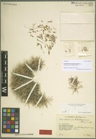 Holotype of Acantholimon kutschanense Rech. f. [family PLUMBAGINACEAE]