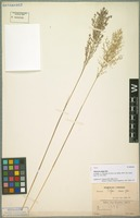 Type of Panicum pilgeri Mez [family POACEAE]