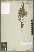Syntype of Baccharis calvescens DC. [family ASTERACEAE]