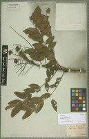Isolectotype of Cassia leptophylla Vogel [family CAESALPINIACEAE]