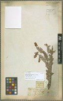 Type? of Acacia scapuliformis A. Cunn. ex G. Don [family MIMOSACEAE]