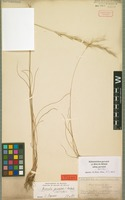 Isotype of Helictotrichon gervaisii (Holub) Röser [family POACEAE]