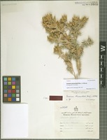 Isotype of Cousinia manouchehrii Rech. f. & Esfand. [family ASTERACEAE]