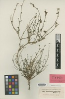 Isotype of Scutellaria multicaulis Boiss. [family LABIATAE]