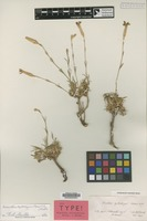 Isotype of Dianthus xylorrhizus Boiss. & Heldr. [family CARYOPHYLLACEAE]