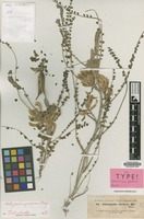Isotype of Astragalus gerensis Boiss. [family LEGUMINOSAE-PAP.]