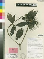Isotype of Pavetta Bridson [family RUBIACEAE]