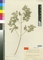 Isotype of Anthriscus keniensis Wolff [family UMBELLIFERAE]
