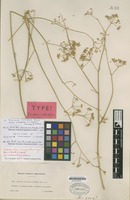 Isotype of Deverra intermedia L.Chevall. [family UMBELLIFERAE]