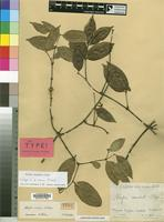 Isotype of Alafia conica Pichon [family APOCYNACEAE]