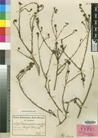 Syntype of Thesium A.W.Hill [family SANTALACEAE]