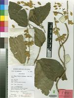 Isotype of Pseudocalyx ochraceus Champl. [family ACANTHACEAE]