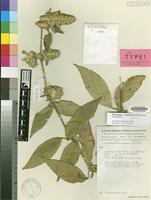 Isotype of Phaulopsis symmetrica M.Manktelow [family ACANTHACEAE]