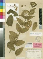 Isotype of Asclepias stolzii Schltr. [family ASCLEPIADACEAE]