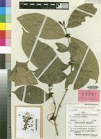 Isotype of Tricalysia Robbr. [family RUBIACEAE]