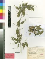 Isotype of Amyrea eucleoides Radcl.-Sm. [family EUPHORBIACEAE]