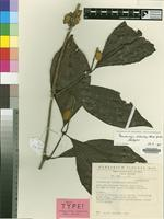 Holotype of Pseudocalyx libericus Breteler [family ACANTHACEAE]
