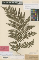 Isolectotype of Polypodium inaequalifolium Colla [family POLYPODIACEAE]