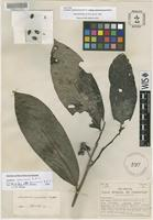 Isotype of Guatteria costaricensis R.E.Fr. subsp. panamensis R.E.Fr. [family ANNONACEAE]