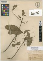 Isotype of Guarea racemiformis S.F.Blake [family MELIACEAE]