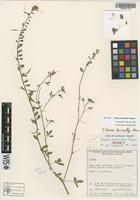 Isotype of Cleome kenneallyi Hewson [family CAPPARIDACEAE]
